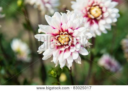 Read And White Dahlia