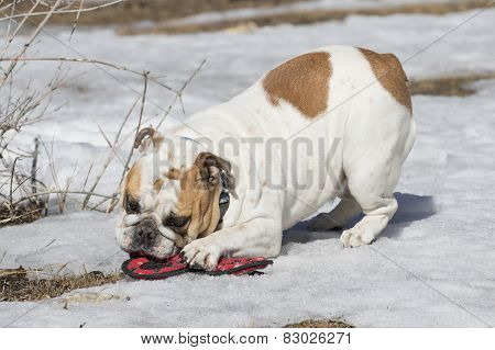 White bulldog playing with a toy