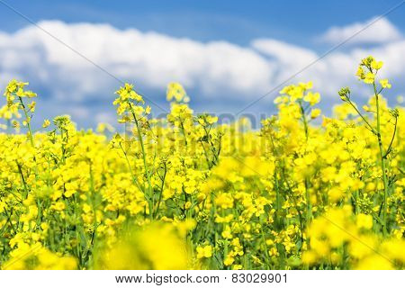 Yellow flower field and blue sky. Spring landscape