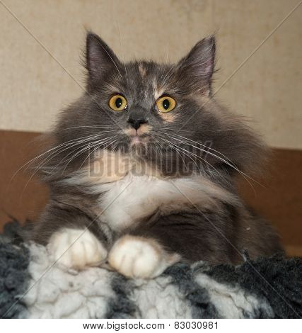 Tricolor Cat Sitting On Fur Bedding