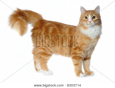 Red Mixed-breed Cat Isolated On White