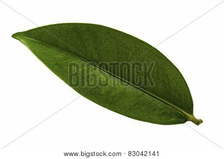 Mangosteen Leaf Isolated
