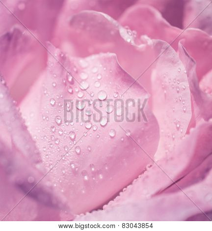 Pink rose background, beautiful gentle flower with dew drops on the petals, romantic greeting card for wedding or Valentine's day