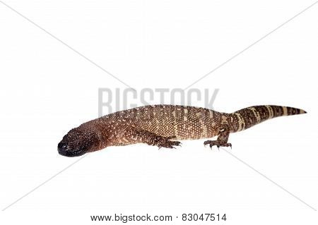 Venomous Beaded lizard isolated on white