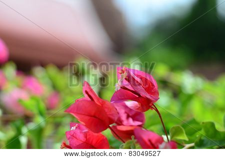 The beautiful bougainvillea in temple