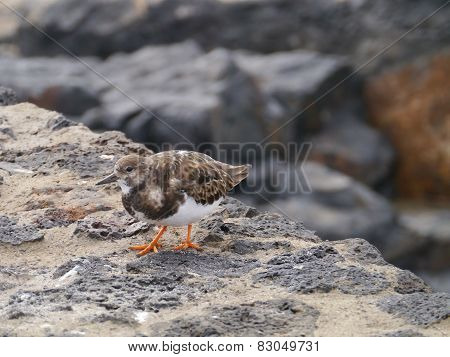 A Ruddy turnstone on the rocks