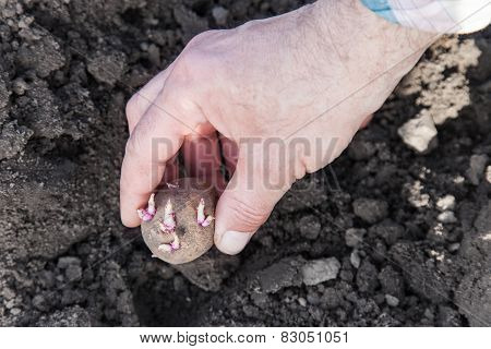 Planting Potato Tubers Into Soil