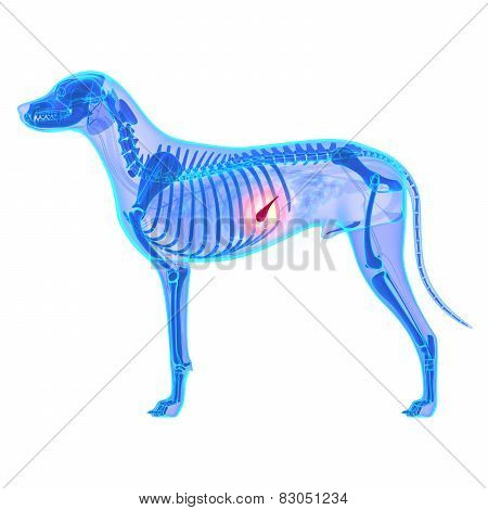 Dog Pancreas - Canis Lupus Familiaris Anatomy - Isolated On White