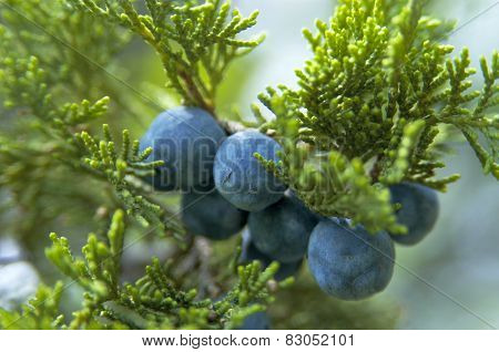 Cones Of Greek Juniper