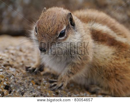A close up of a barbary ground squirrel