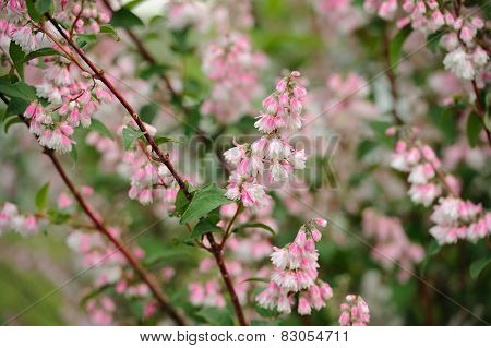 Deutzia Scabra Flowers On Shrub