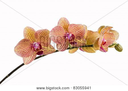 Phalaenopsis, Closeup Blooming Orchid Flower Tropical Plants.