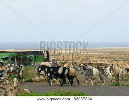 Goats on the road