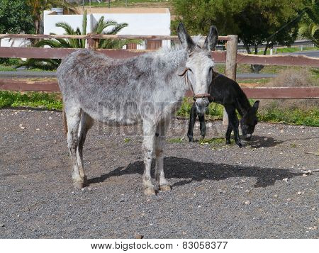 A grey donkey with a dark brown foal