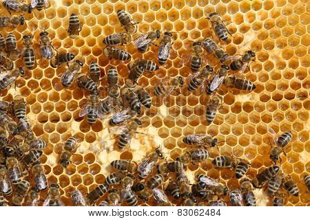 honey comb and a bee working