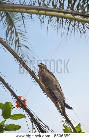 Black kite (Mulvus Migrant) on a palm tree branch, Dakar, Senegal