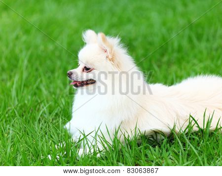 White Pomeranian dog sitting on the grass