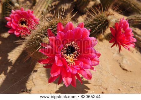 Cactus Flowers.