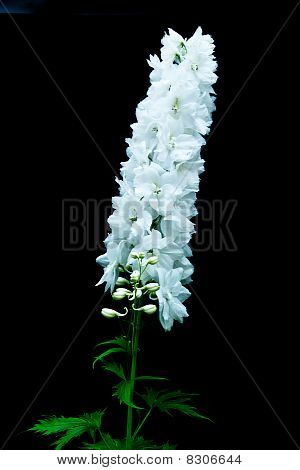 Single Stem Of White Delphinium On Black Background