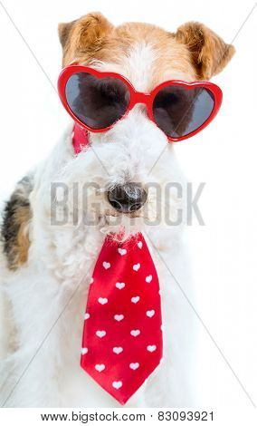 A wire fox terrier dressed for Valentine's Day.