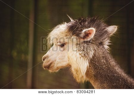 Portrait Of Fluffy Young Alpaca Vicugna Pacos