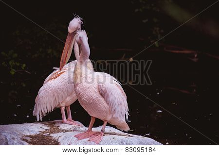 Two Kissing White Pelicans Against A Dark Background