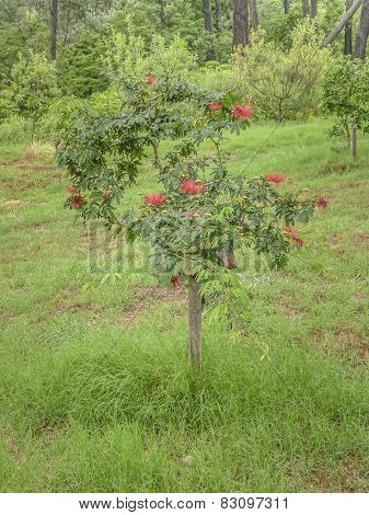 Little Tree With Red Flowers