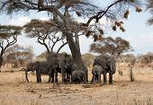 picture of herd  - Elephant herd under an african acacia tree full of bird nests - JPG
