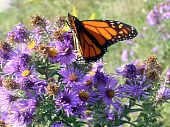picture of monarch butterfly  - Monarch butterfly on bank of lake Ontario in Toronto Canada - JPG