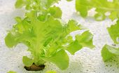 image of hydroponics  - Vegetable - JPG