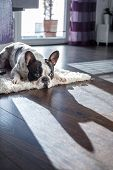 picture of bulldog  - French bulldog lying down in the sunny living room - JPG