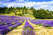 stock photo of lavender field  - Lavender field in Provence near Sault France - JPG