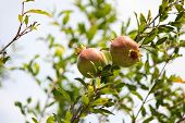 stock photo of pomegranate  - While immature pomegranate fruits on a branch of the southern pomegranate - JPG