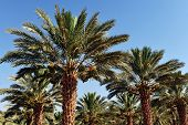 picture of oasis  - Date Palm Plantation At Oasis Near Dead Sea - JPG