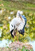 foto of swamps  - A heron standing on a rock near the swamp and lifting it - JPG