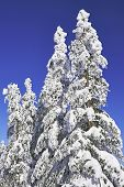 stock photo of blue spruce  - Spruce trees in winter with blue sky in the background - JPG