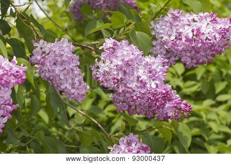 Lilac Bush (syringa Vulgaris)