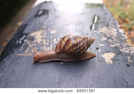Snail on black cement wall in the garden