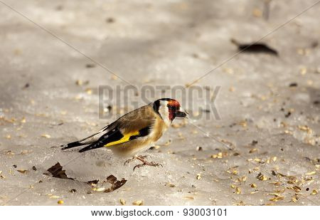 goldfinch on ice