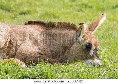 Roan Antelope (hippotragus Equinus)