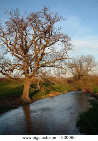 Old Oak By River At Sunset. Looking East