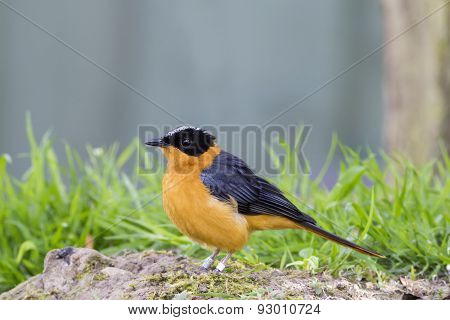 Snowy Crowned Robin Chat