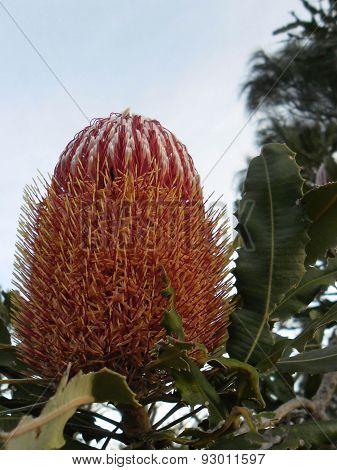 Pink Banksia Flower In Western Australian Bushland