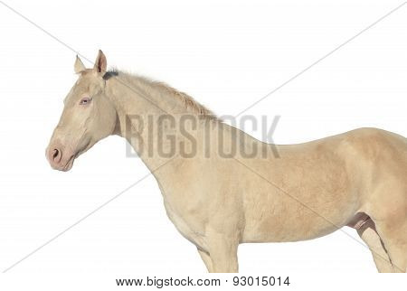 unique Stallion on white background