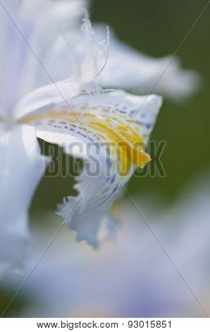Detail Of Petals Of An Iris Flower