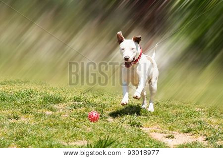 American pit bull terrier running to catch the ball.