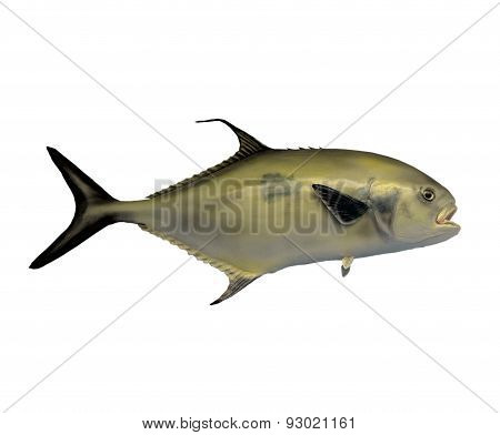 Black Tail Permit Fish