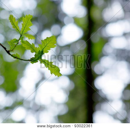 Green Oak  Leaves Isolated.