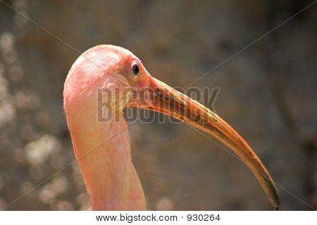 Ibis Bird Close Up