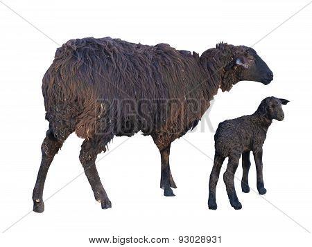 Black Sheep And Lamb Isolated Over White